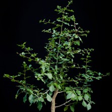Коммифора (Commiphora glaucescens)