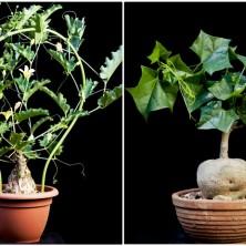 Каудексные Тыквенные  (Cucurbitaceae)