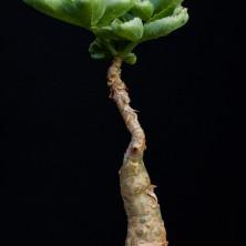 Цифостемма бетиформис (Cyphostemma betiformis)