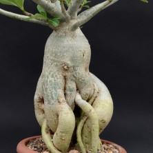 Бонсай из Адениума (Adenium Bonsai)