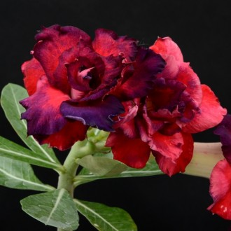 Адениум (Adenium Red Blue Roses)