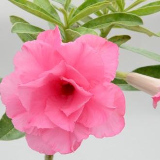 Махровый розовый Адениум