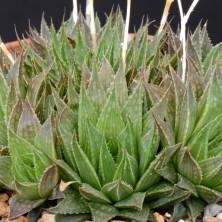 Haworthia marumiana