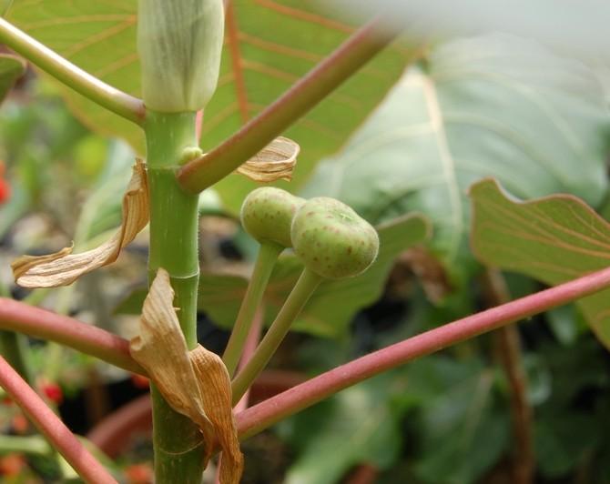 Фикус петиоларис (Ficus petiolaris)