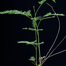 Элефанторриза (Elephantorrhiza burkei)