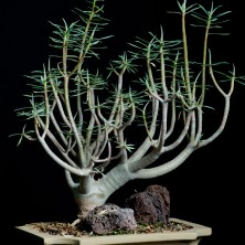 Молочай бальзамический (Euphorbia balsamifera)