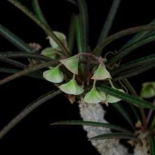 Euphorbia waringii