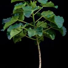 Фикус абутилифолия (Ficus abutilifolia)
