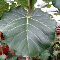 Ficus abutifolia (8) (1)