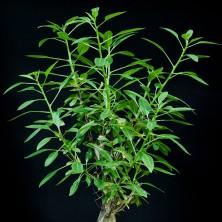 Фукерия (Fouquieria macdougalii)