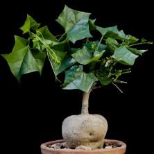 Жерардантус (Gerardantus macrorhizus)