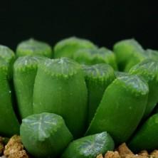 Haworthia cv. Francoise