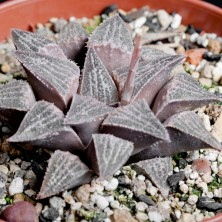 Haworthia hybrid ex Japan