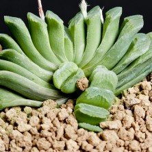 Haworthia truncata cv 'Lime Green'