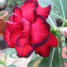 Махровый Адениум (Triple Red Roses)