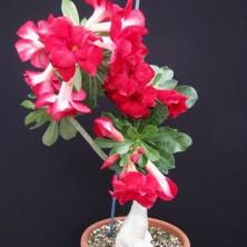 Адениум (Adenium Double Red Fairy)