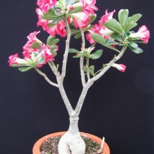 Адениум (Adenium Double Don't Hurt Me)