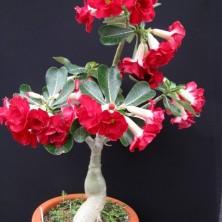 Махровый красный Адениум