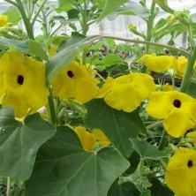 Цветение Ункарины