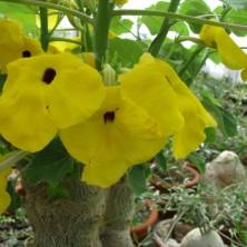 Ункарина пельтата (Uncarina peltata)