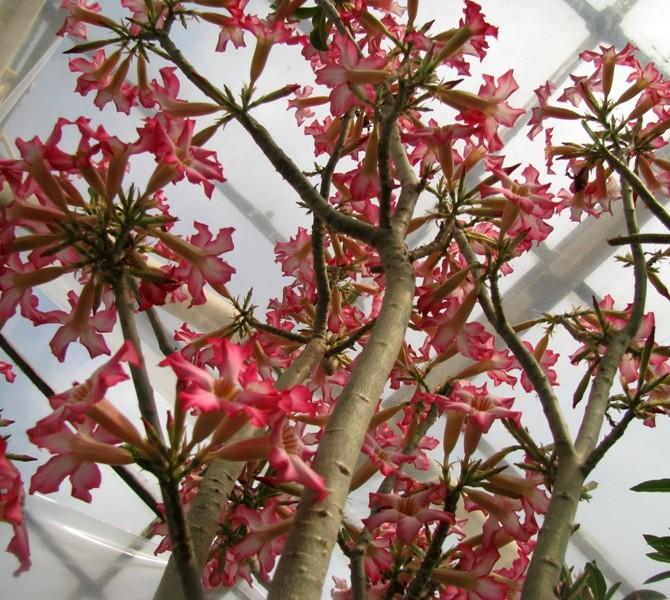 Цветение Адениума сомалийского