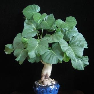 Ипомея беложильчатая (Ipomoea albivenia)