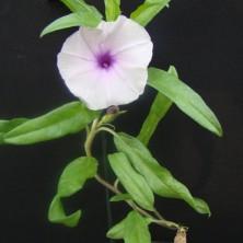 Ипомея (Ipomoea oenotherae)