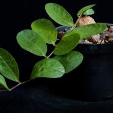 Ипомея (Ipomoea sp.)