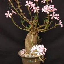 Pachypodyum succulentum