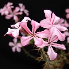 Цветы Пахиподиума