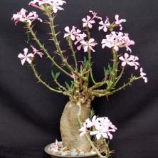 Пахиподиум суккулентум (Pachypodyum succulentum)