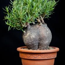 Пахиподиум биспинозум (Pachypodium bispinosum)