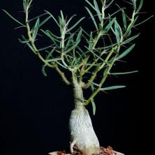 Пахиподиум суккулентум (Pachypodium succulentum)
