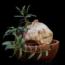 Рафионакме (Raphionacme globosa)
