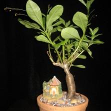 Талинум метельчатый (Talinum paniculatum)