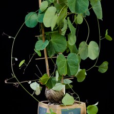 Тилосема (Tylosema fassoglensis)