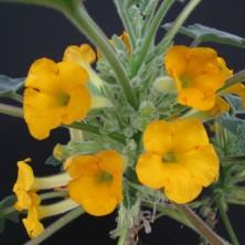 Ункарина (Uncarina roeoesliana)