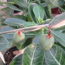 Плоды Адении