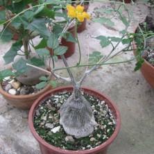 Момордика (Momordica rostrata)