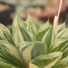 H. cuspidata variegated