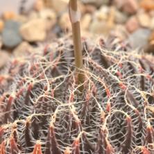 H. arachnoidea