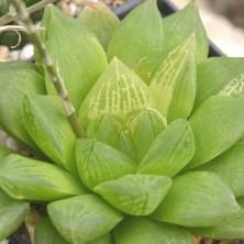 H. hybr. variegated