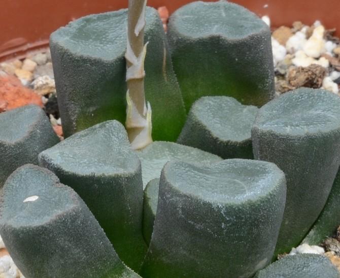 Хавортия маугани (Haworthia maughanii)