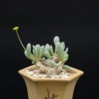 Отонна (Othonna clavifolia)