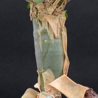 Коммифора (Commiphora abyssinica)