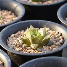 Haworthia obtusa X Haworthia retusa
