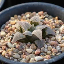 Haworthia pygmaea X Haworthia mirabilis var. pillosa