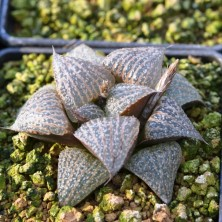 Haworthia splendens