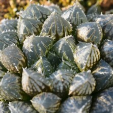 Haworthia 'Mirrir ball'