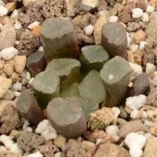 Хавортия (Haworthia maughanii)